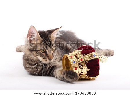 Maine Coon Cat and Crown - stock photo