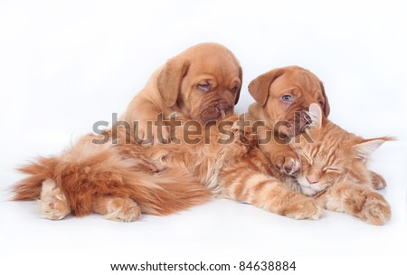 Maine coon cat and two pups Bordeaux on a white background - stock photo