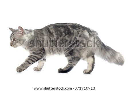 maine coon cat in front of white background - stock photo