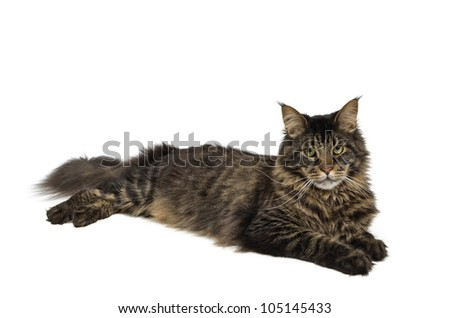 maine coon cat in the colour black tabby - stock photo