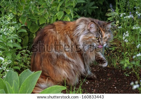 Maine Coon Cat in the grass  - stock photo