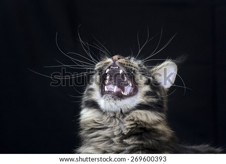 Maine coon cat is yelling out mouth open. - stock photo