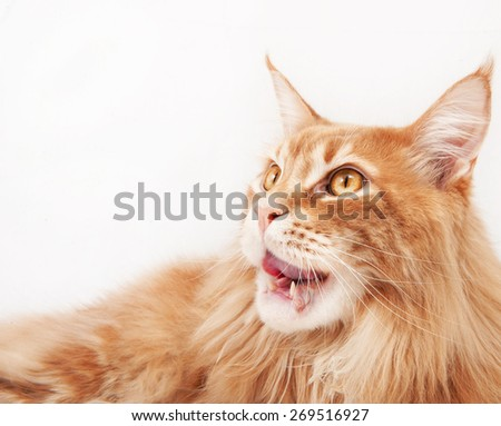 Maine Coon cat licked - stock photo