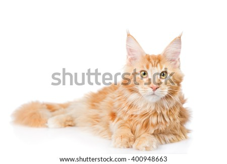 Maine coon cat lying in front view. isolated on white background - stock photo