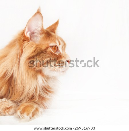 Maine Coon Cat profile - stock photo