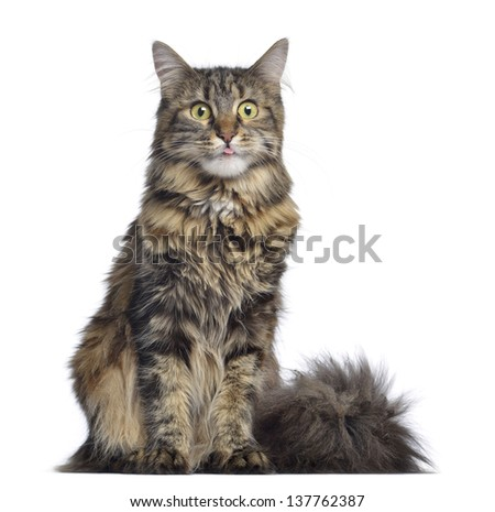 Maine coon cat, sitting and facing, isolated on white - stock photo