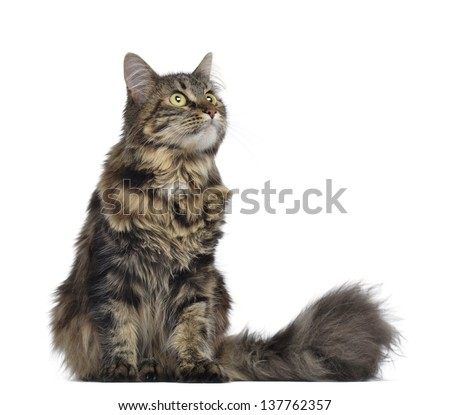 Maine coon cat, sitting and looking up, isolated on white - stock photo