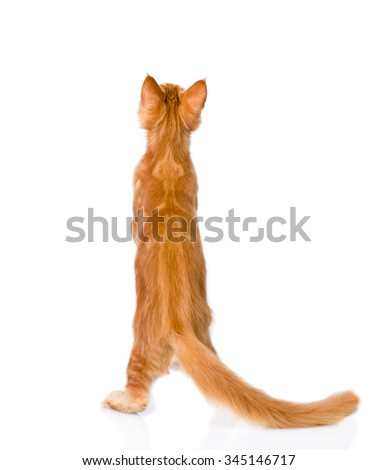 maine coon cat standing in back view. isolated on white background - stock photo