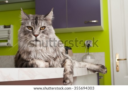 Maine coon cat with grey hairs - stock photo