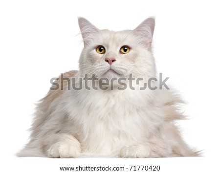 Maine Coon cat, 3 years old, in front of white background - stock photo