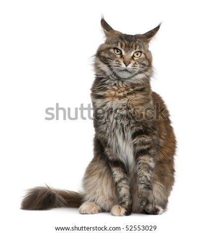 Maine coon cat, 3 years old, sitting in front of white background - stock photo