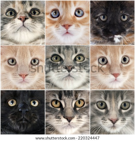 maine coon cats in front of white background - stock photo