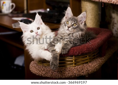 Maine Coon kitten - stock photo