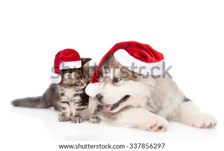 maine coon kitten and alaskan malamute puppy in red santa hats. isolated on white background - stock photo