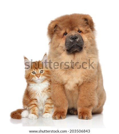 Maine Coon kitten and Chow Chow puppy. Portrait on white background - stock photo