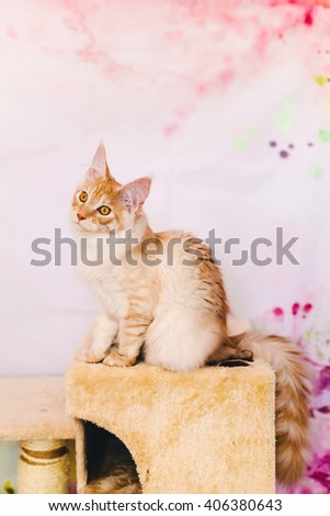 Maine coon kitten closeup portrait. Red silver tabby cat sitting on natural background with wary ears. Orange color curious pet. - stock photo