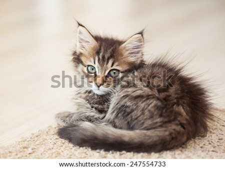 Maine Coon kitten lying on a carpet. small depth of field - stock photo