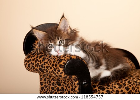 Maine Coon kitten lying on leopard print chaise chair on beige background - stock photo