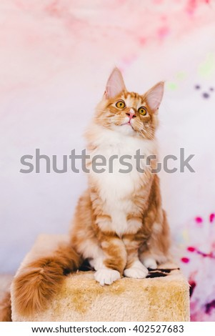 Maine coon kitten. Maine coon cat. Maine coon orange color. Maine coon red tabby kitten. Maine coon portrait. - stock photo