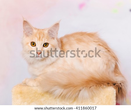 Maine coon kitten. Maine coon closeup portrait. Red tabby bi-color cat lies on natural background. Light orange color curious maine coon pet. Maine coon cat. - stock photo
