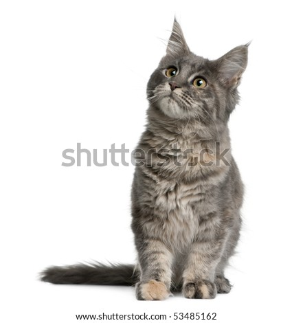 Maine coon kitten, 4 months old, sitting in front of white background - stock photo