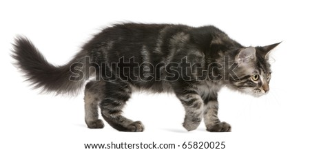 Maine Coon kitten, 4 months old, walking in front of white background - stock photo