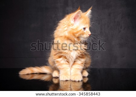 Maine Coon kitten on a black background - stock photo