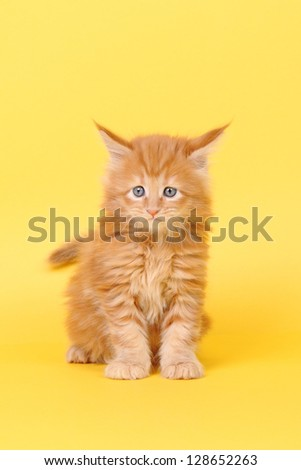 Maine Coon kitten on a yellow background - stock photo