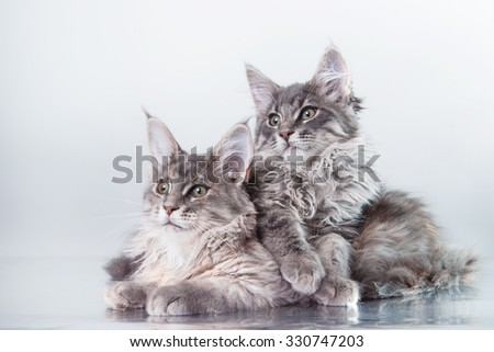 Maine Coon kitten portrait on a color background - stock photo