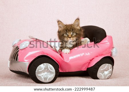 Maine Coon kitten sitting inside pink toy car on pink background - stock photo