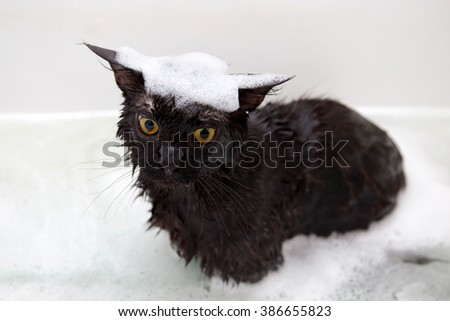 Maine Coon kitten taking a bath with foam. - stock photo