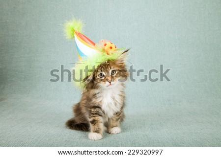 Maine coon kitten wearing cone shaped birthday hat   - stock photo