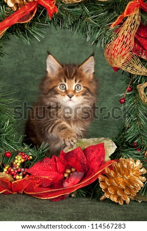 Maine Coon kitten with Christmas wreath on green background - stock photo