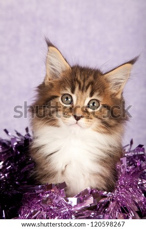 Maine Coon kitten with purple christmas festive decorations - stock photo