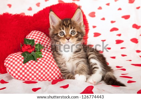 Maine Coon kitten with red heart cushions on valentine heart background - stock photo