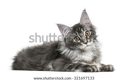 Maine Coon kittenlying in front of a white background - stock photo