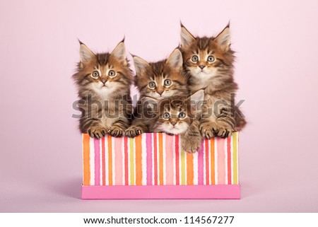 Maine Coon kittens sitting in gift box container on lilac pink background - stock photo