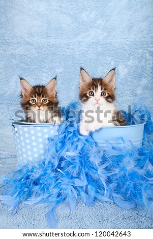 Maine Coon kittens sitting inside blue buckets with blue feather boa on blue background - stock photo