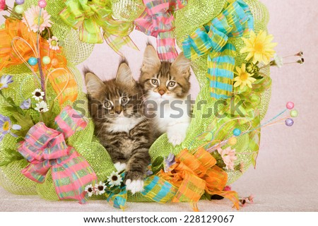 Maine Coon kittens sitting inside green Spring wreath decorated with flowers ribbons and bows on pink background  - stock photo