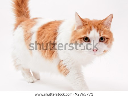 Maine Coon mix cat on white background - stock photo