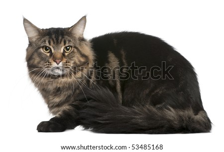 Maine coon, 20 months old, sitting in front of white background - stock photo
