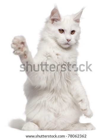 Maine Coon, 5 months old, with paw up in front of white background - stock photo