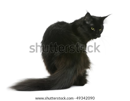 Maine coon, 3 years old, sitting in front of white background - stock photo