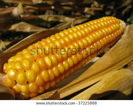 Maize, corn (Zea mays L. ssp. mays, pronounced also known in some countries as corn), is a starch. domesticated in Mesoamerica and subsequently spread throughout the American continents - stock photo