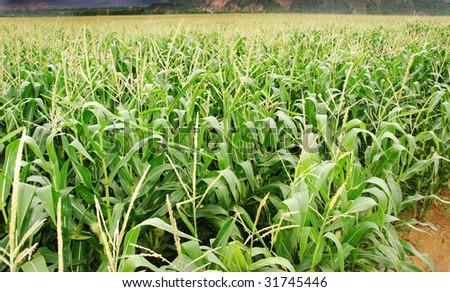 Maize crop - stock photo