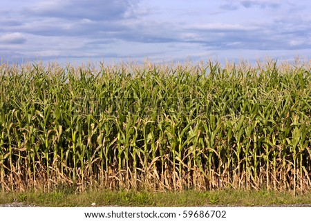 Maize field with ear of corn and cloudy sky - stock photo
