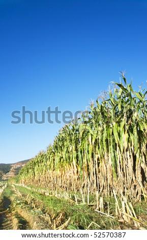Maize harvest om a farm - stock photo