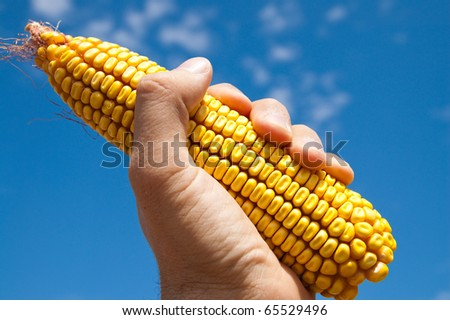 maize in hand under sky - stock photo