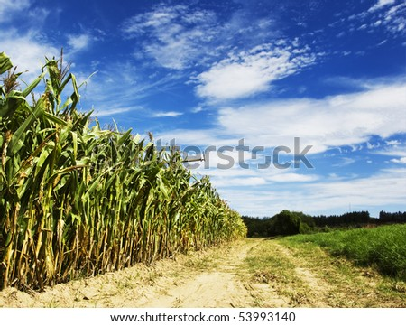 Maize on the field - stock photo