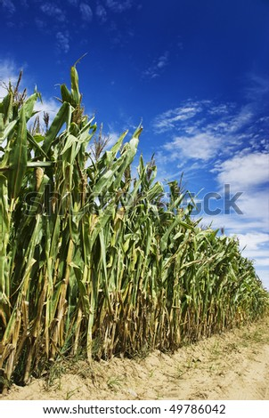 Maize on the field before harvest - stock photo